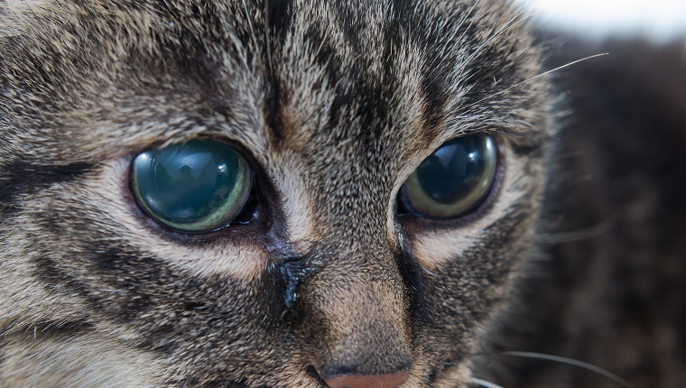 Acute glaucoma in adult cat, intraocular presure increased and blind at presentation,