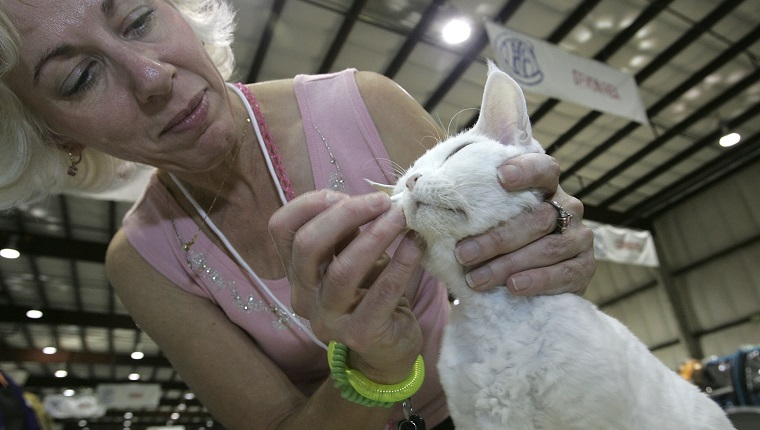 "SAN MATEO, CA - NOVEMBER 18: Carole Goodwin grooms her Devon Rex cat named Kayzia during the 18th Annual Cat Fanciers' Association International Cat Show November 18, 2005 in San Mateo, California. The three-day CFA International Cat Show is the largest pedigreed cat show, featuring more than 800 felines and representing 41 breeds. The show runs through Sunday when one cat will be awarded the coveted ""best in Show"" title."