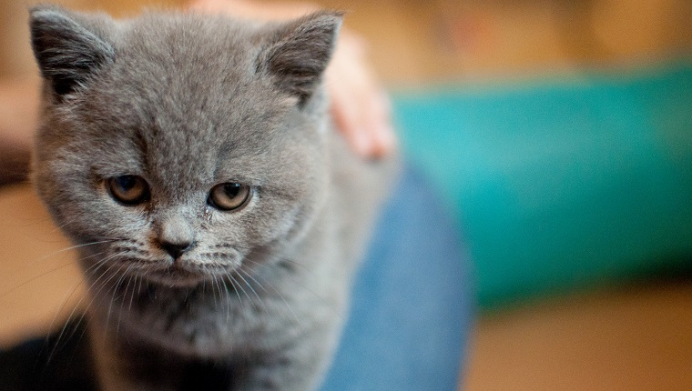 close up of a kitten staring at camera with gentle and sad expression