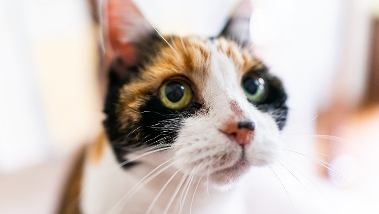 Closeup portrait of calico cat face head with blurry background in room home with acne on nose begging for food