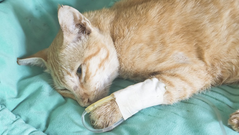 fluid therapy in cat
