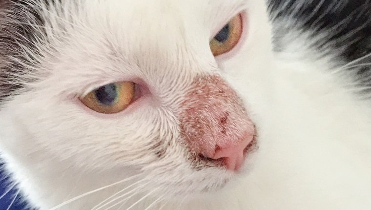 Dermatophytosis, a fungal infection (Microsporum canis) of the skin , with a alopecia on a cats nose