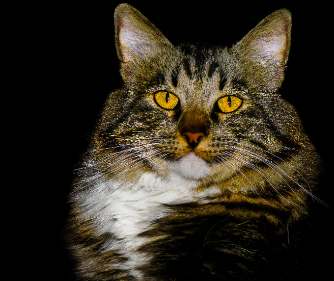 American Bobtail Cats And Kittens