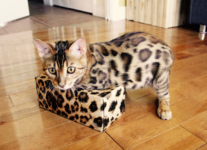 Bengal Cat Breed Pictures