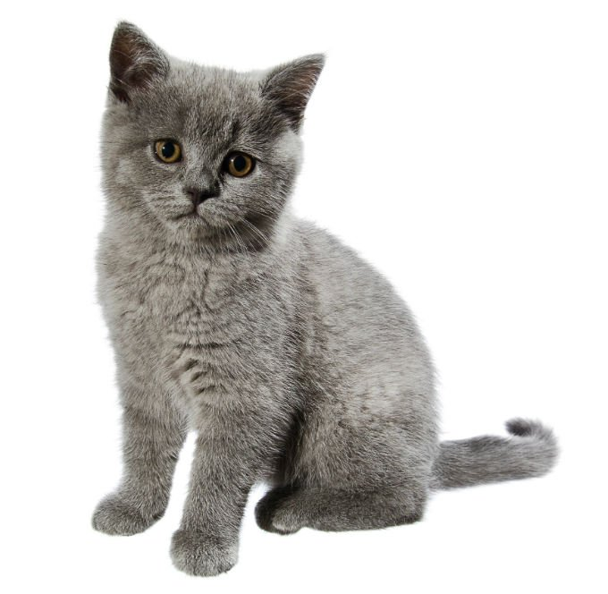 Image result for british blue cat