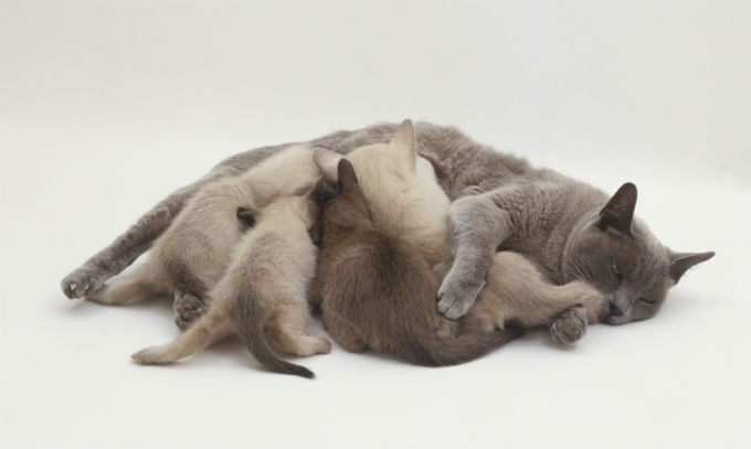 Burmese Cats And Kittens