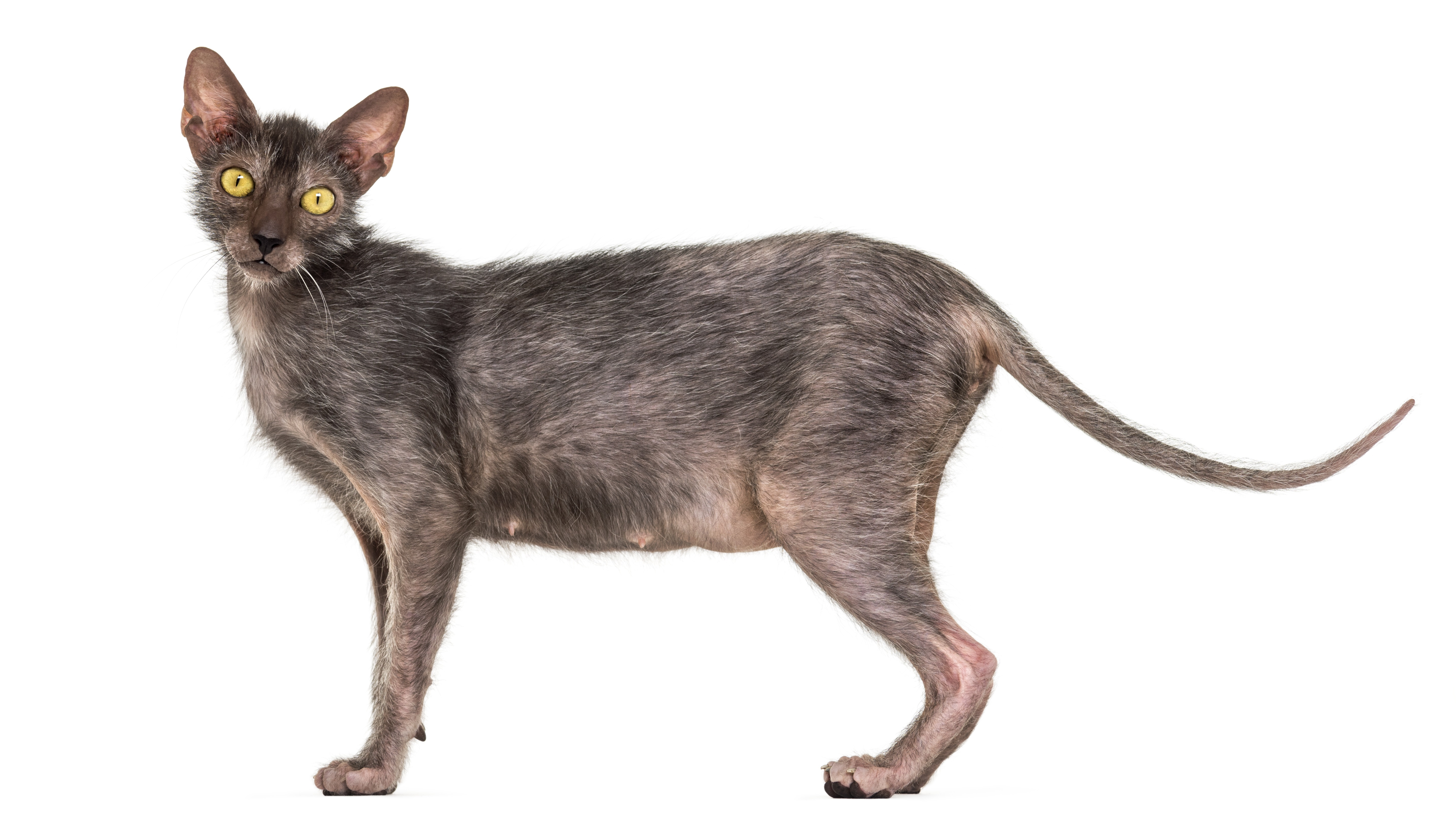 Lykoi Cat Breed Pictures