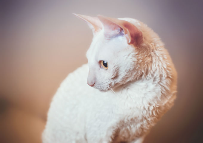 Cornish Rex Cats And Kittens