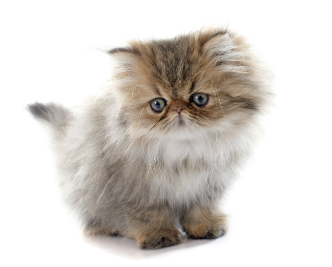 How to clean persian cat face