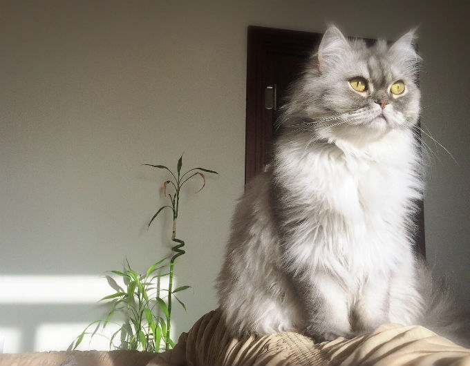 Persian Cat Gray - Cats & Kittens
