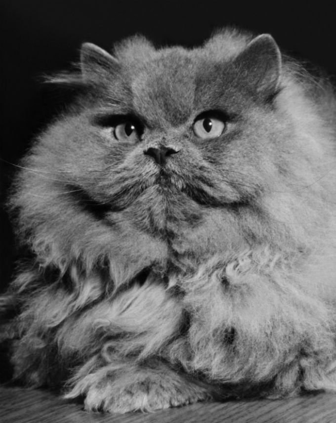 Persian Cats And Kittens