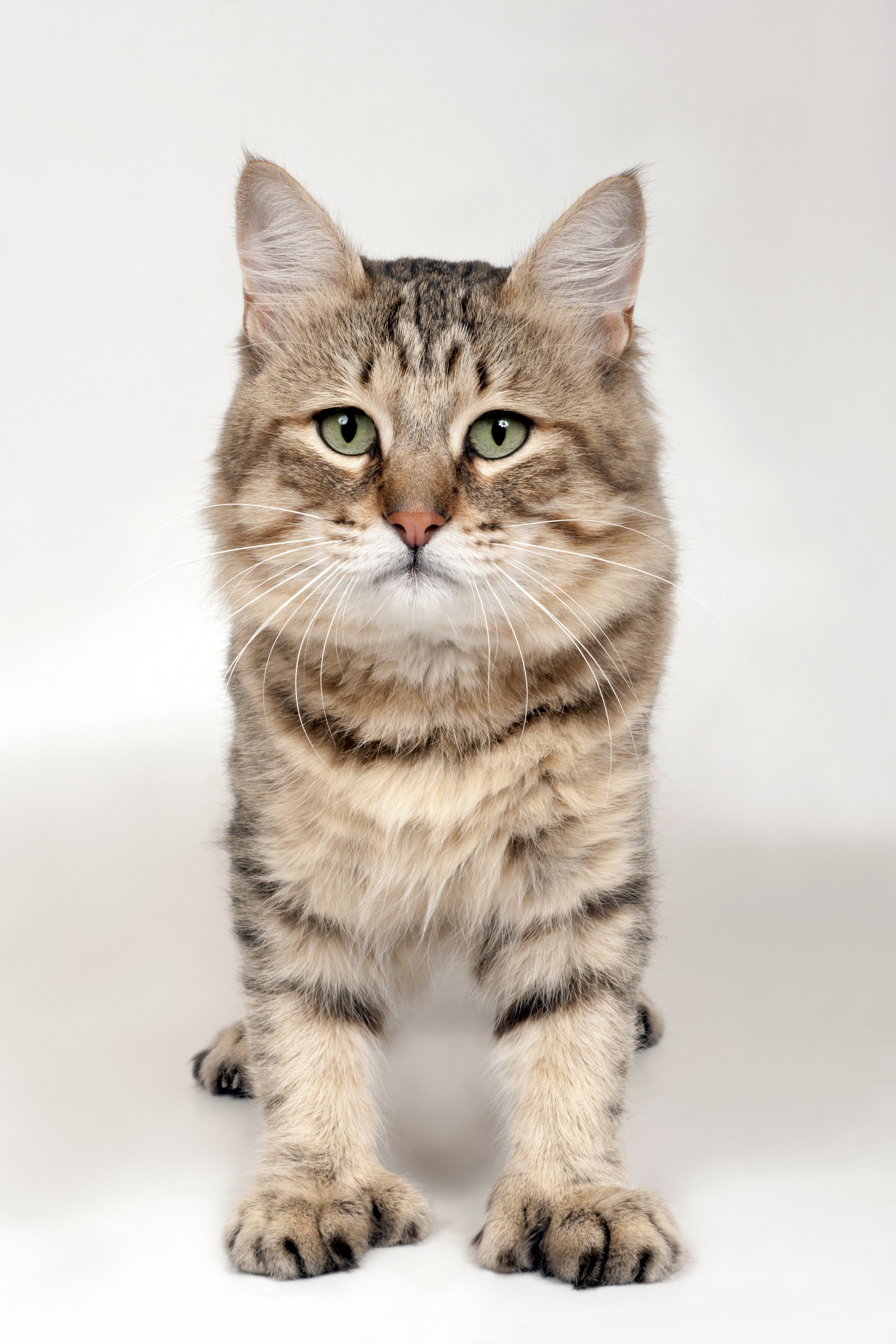 Pixie-Bob Cat Breed Pictures