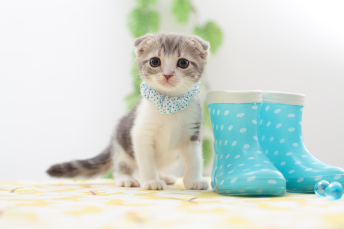 Scottish Fold Cats And Kittens