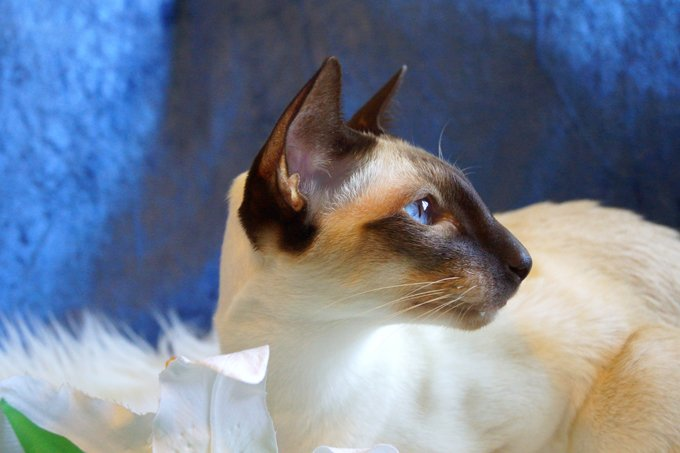 siamese cat breed information behavior pictures and care cattime