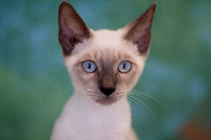 Siamese Cats And Kittens