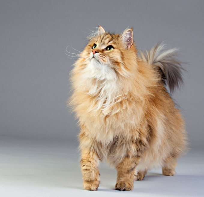 Siberian Cat Breed Information, Pictures, Characteristics & Facts