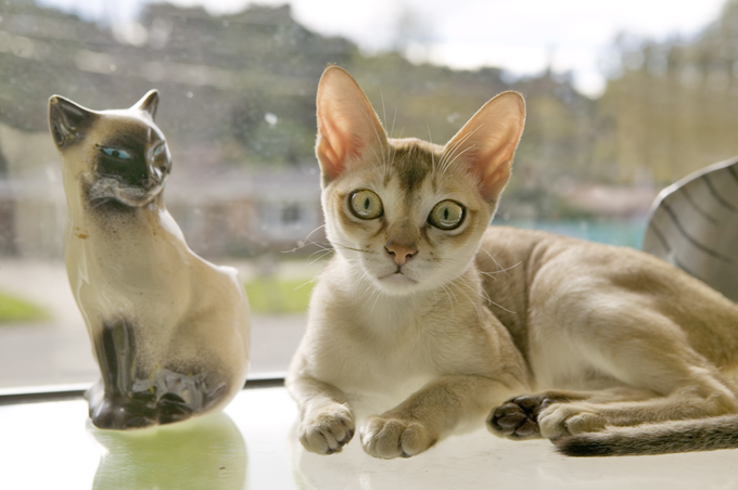 Singapura Cats And Kittens
