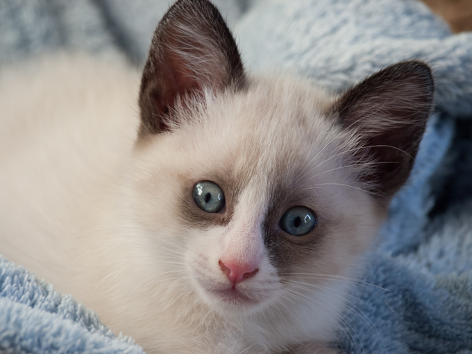 Snowshoe Cat Breed Information Pictures Characteristics