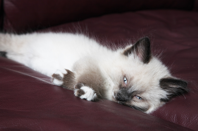 Snowshoe Cat Breed Information Pictures Characteristics Facts