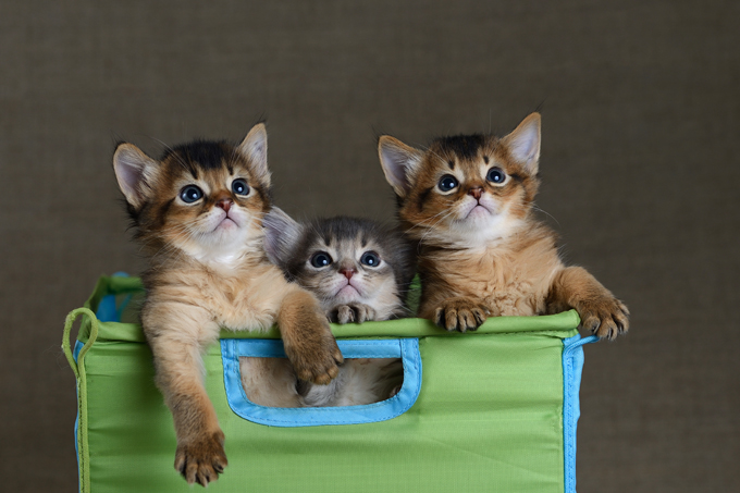 Somali Cat Breed Information, Pictures, Characteristics & Facts