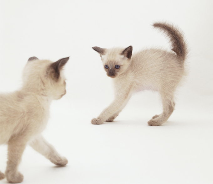 Tonkinese Cats And Kittens