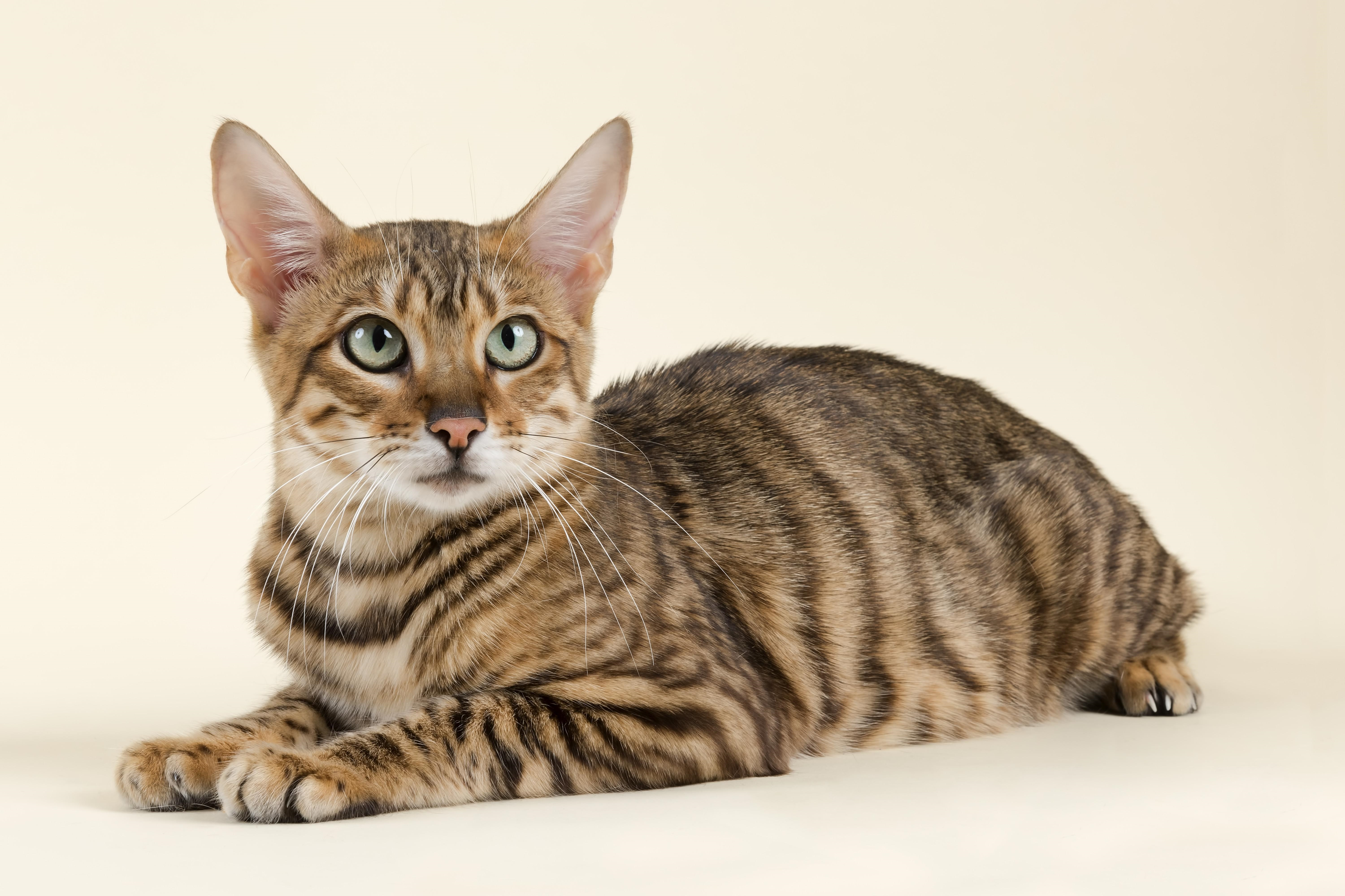 Toyger Mixed Cat Breed Pictures