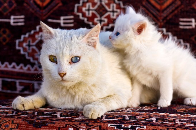 Angora cats and water