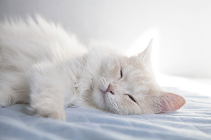 Turkish angora cat diseases