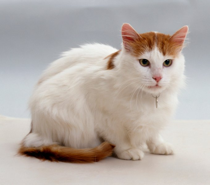 Turkish Van Cats And Kittens
