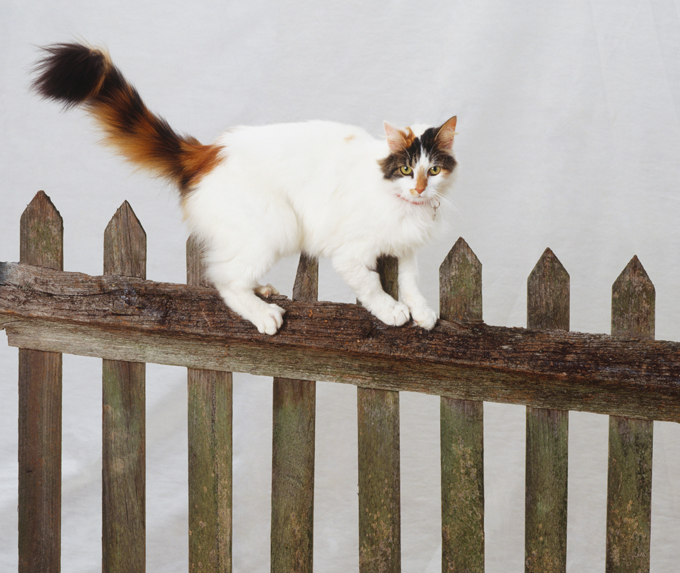 6069853f58 Turkish Van Cat Breed Information