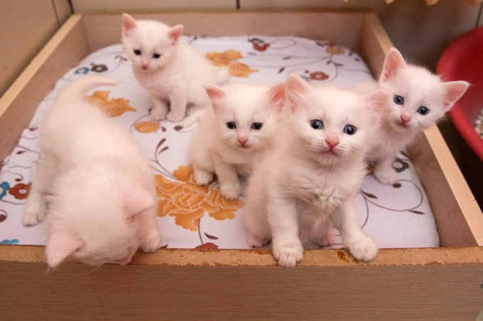 http://cdn2-www.cattime.com/assets/uploads/gallery/turkish-van-cats-and-kittens/turkish-van-cats-kittens-3.jpg
